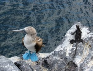 Blue-footed Booby photo by David Anchundia